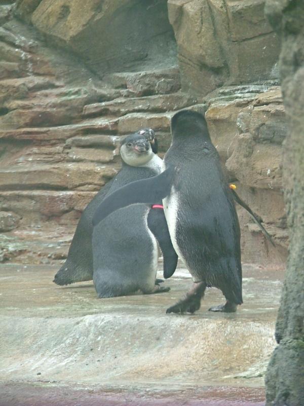 penguins woodland park zoo