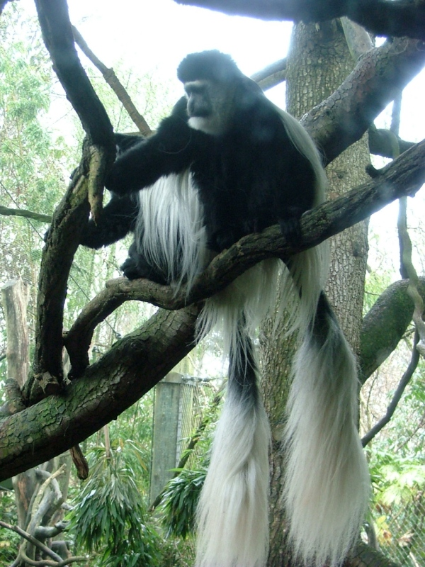 woodland park zoo colobus monkeys
