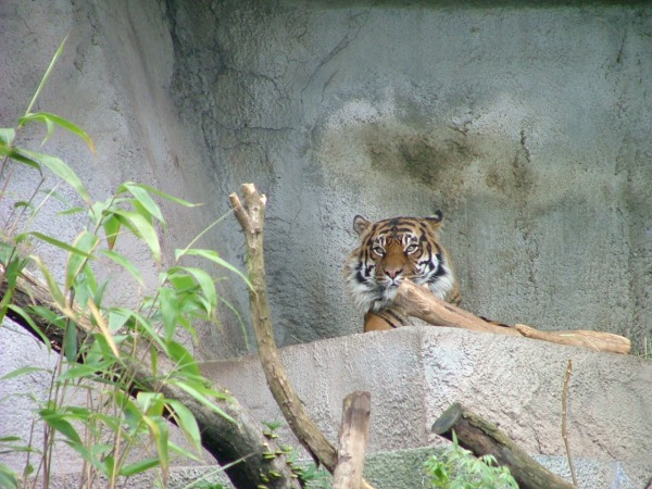 woodland park zoo tiger