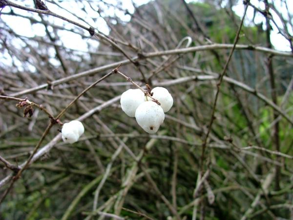 woodland park zoo snow berries