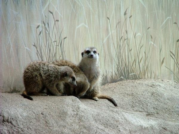 woodland park zoo meerkats