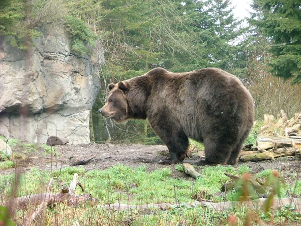 woodland park zoo grizzly bear