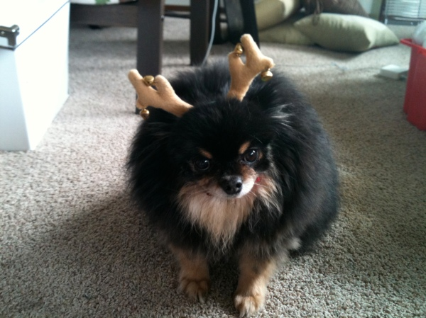 Cordelia the pomeranian dog in antlers