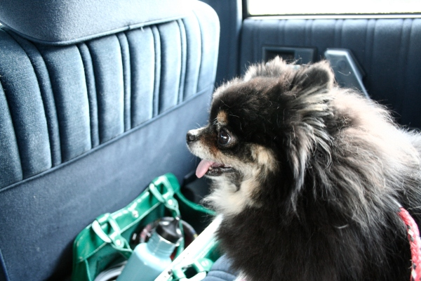 cordelia the pomeranian dog