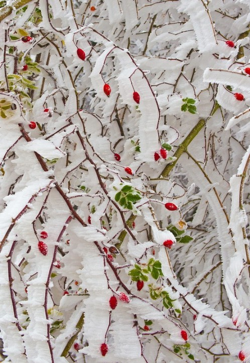 winter frost and red berries