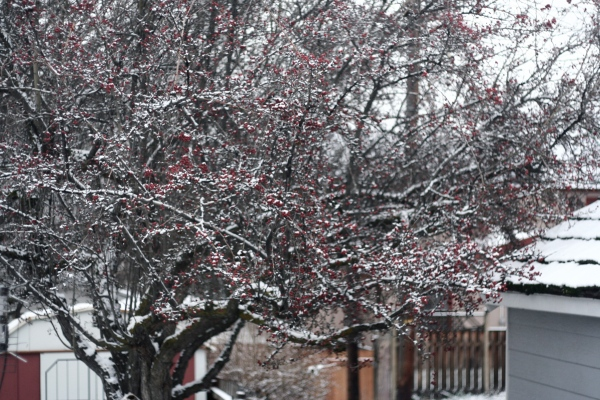hawthorne red berries snow