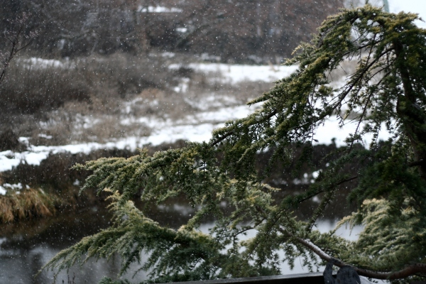Cedrus Deodara in the snow