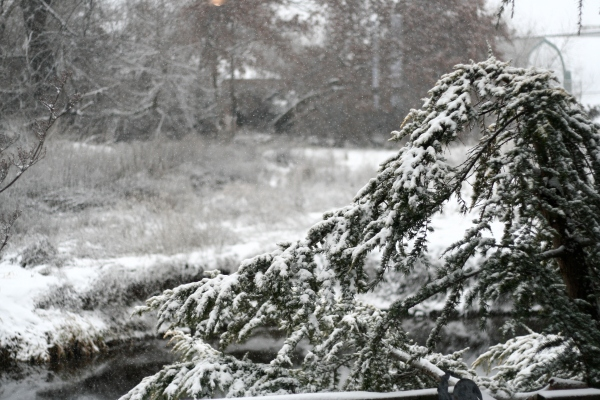 Deodara Cedar in snow
