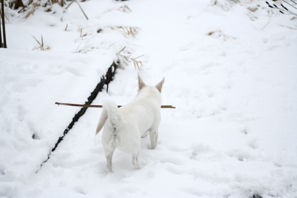 white dog carrying stick in snow