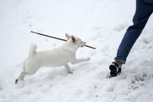 white dog running in snow